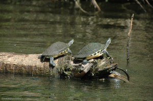 Florida Peninsula Cooter Turtles in the Loxahatchee River
